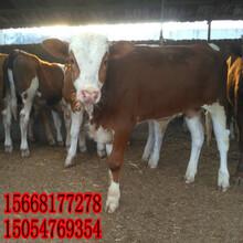 牛養殖-黃牛養殖前景-改良牛養殖圖片