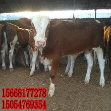 牛养殖-黄牛养殖前景-改良牛养殖图片