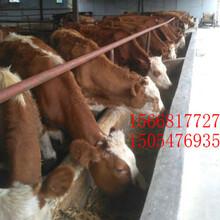 安阳当地肉牛价格-500斤黄牛多少钱-小肉牛图片