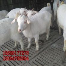 绒山羊品种-肉羊绒山羊多少钱只图片