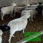 皓轩肉羊养殖合作社-改良山羊苗多少钱只图片