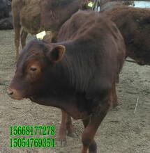 肉牛网育肥牛销售-肉牛价格图片