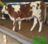 秦川牛小母子多少钱-一头断奶的牛娃子多少钱图片