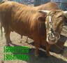 洛阳黄母牛价格-九百斤肉牛报价多少图片