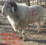 四个牙六个牙的小尾寒羊斗羊价格绵羊斗羊价格图片