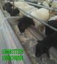 100多斤杜泊羊多少钱-黑头杜泊绵羊图片