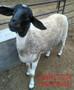 杜泊绵羊一年下几窝-养羊技术图片