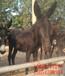 乌头驴养殖技术-乌头驴仔多少钱条