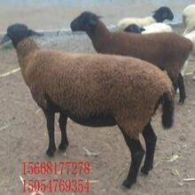 邯鄲市種羊母羊價格哪里有賣純種小尾寒羊綿羊和山羊哪個好吃圖片