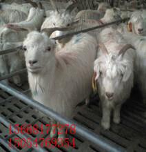 唐山市青山羊價格一只50斤山羊多少錢最大的山羊品種圖片