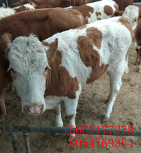 安福县、改良肉牛安格斯牛1000斤牛多少钱图片