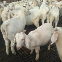 杜湖杂交羊价格/杜湖杂交羊生长过程图片