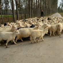现在50-70斤绒山羊价格-种羊多少钱图片