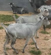 青山羊一年下几胎-羊每胎多少只图片
