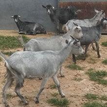 波尔山羊养殖管理措施图片