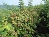 双季哈瑞太慈苗,黑加仑苗,草莓苗出售