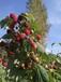 批发双季树莓苗,四季树莓苗,东北树莓苗,树莓种苗,树莓占地苗,东北红树莓苗,黑龙江树莓苗,树莓酒,树莓酮