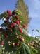 双季哈瑞太慈苗,黑加仑苗,草莓苗出售,醋栗苗.醋栗果,葡萄苗,种苗和占地