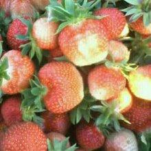 草莓苗多少钱一颗,草莓苗种植,草莓苗批发,草莓苗怎么种,草莓苗基地图片