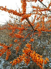 沙棘苗,东北沙棘苗,深秋红沙棘苗图片