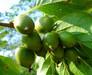 魁绿软枣子苗,龙城苗,东北软枣子苗,软枣猕猴桃苗
