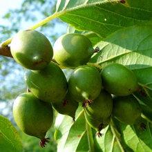 东北软枣子苗,魁绿软枣子苗,龙城软枣子苗图片