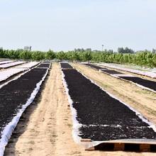 大量供應河北黑珍珠新鮮桑葚.桑葚干.泊頭桑葚圖片
