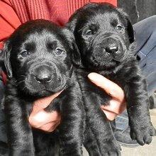 呈貢買拉布拉多昆明名犬基地出售漂亮小拉多圖片