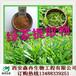 茶多酚98%绿茶提取物儿茶素森冉生物厂家热销