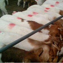 贵州江川区大型纯种波尔山羊养殖场波尔山羊母羊繁殖效益波尔山羊母羊多少钱?图片