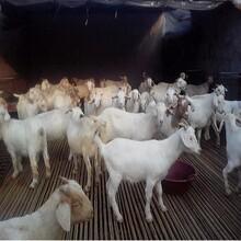 貴州江川區白山羊養殖場春季養殖白山羊效益白山羊種羊羊苗價格圖片