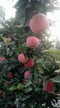 山東蘋果價格山東濰坊紅星蘋果基地批發圖片