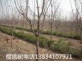 占地樱桃树,占地樱桃树+占地樱桃树++占地樱桃树+占地樱桃树图片