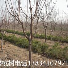 8公分樱桃树,8公分樱桃树,占地樱桃树+10公分樱桃树+10公分樱桃树