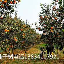 10公分核桃树12公分核桃树8公分10公分核桃树12公分核桃树图片