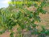 6公分薄皮核桃樹8公分薄皮核桃樹10公分薄皮核桃樹