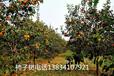 石榴樹,10公分石榴樹,12公分石榴樹,15公分石榴樹