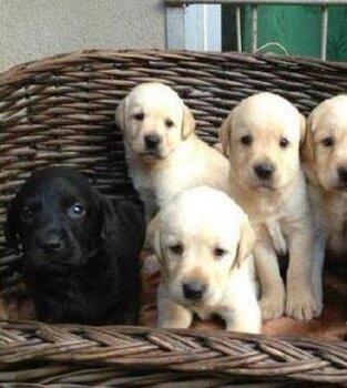 云南巍山賣狗的地方在哪里本地狗場常年賣拉布拉多幼犬