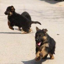 ??谟袥]有人出售轉讓純種德牧幼犬狗場常年賣德國牧羊犬圖片