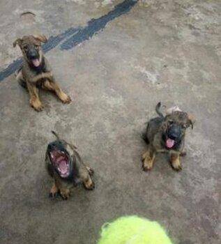 西寧哪里有狗賣哪里有昆明犬賣狗場常年賣昆明犬幼犬
