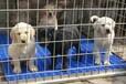西藏卖拉布拉多小狗、西藏狗场出售纯种拉布拉多小狗