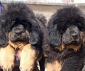 珠海卖纯种藏獒犬珠海什么地方有狗场