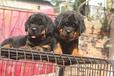 大理买罗威纳大理狗场常年出售纯种罗威纳