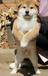海口养殖场出售纯种柴犬