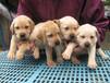 三亚卖拉布拉多幼犬三亚狗场直销拉布拉多