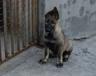三亚狗场出售纯种昆明犬