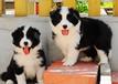 深圳边牧幼犬怎么卖深圳哪里有出售纯种边境牧羊犬