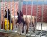 德钦狗场出售纯种马犬