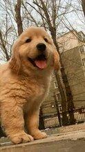 巧家金毛犬出售金毛幼犬