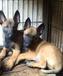 拉萨狗场常年出售马犬